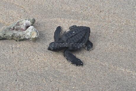 浜辺の海亀の写真素材 [FYI03414204]