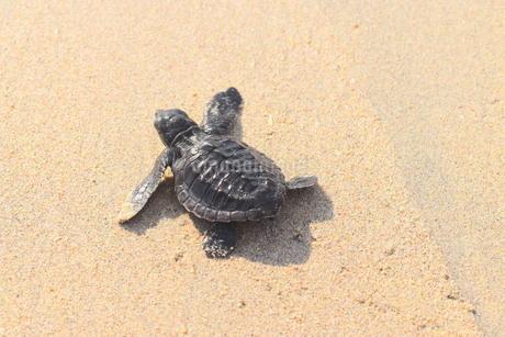 浜辺の海亀の写真素材 [FYI03414205]