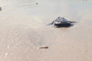 浜辺の海亀の写真素材 [FYI03414206]