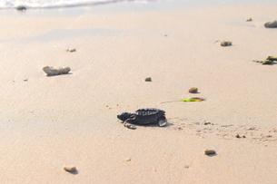浜辺の海亀の写真素材 [FYI03414207]