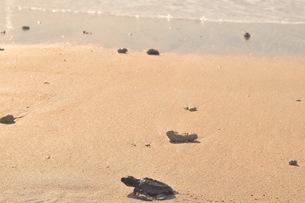 浜辺の海亀の写真素材 [FYI03414210]