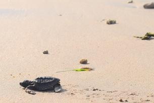 浜辺の海亀の写真素材 [FYI03414211]