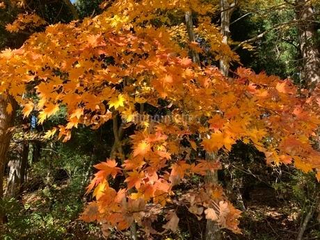 鮮やかな紅葉の写真素材 [FYI03414212]