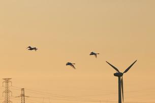 風車と朝の空を飛ぶハクチョウの写真素材 [FYI03414294]