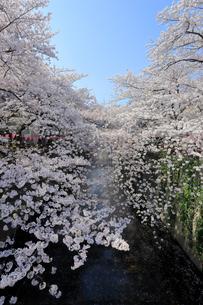 目黒川の桜の写真素材 [FYI03414348]