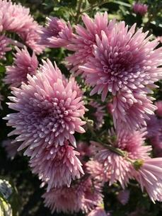 ピンクの菊の花の写真素材 [FYI03414363]