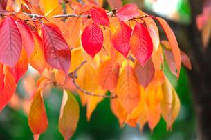 紅葉する桜の葉の写真素材 [FYI03414557]
