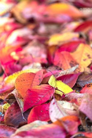 落ち葉の写真素材 [FYI03414576]