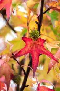 色づく楓の写真素材 [FYI03414593]