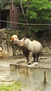 上野動物園 サイの写真素材 [FYI03415057]