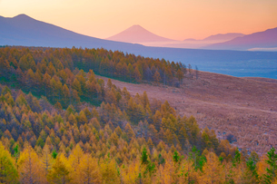 朝の紅葉のカラマツ林と富士山の写真素材 [FYI03415058]