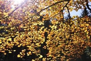 カエデ紅葉の写真素材 [FYI03415246]
