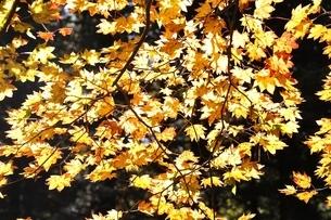 カエデ紅葉の写真素材 [FYI03415247]