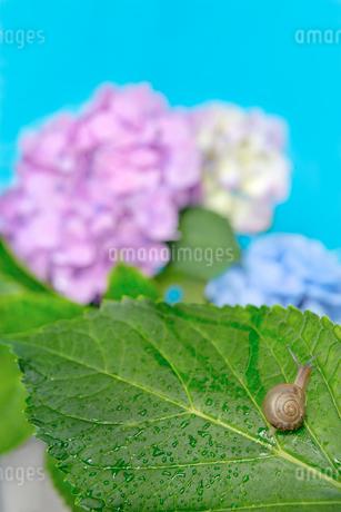 青空バックの紫陽花と葉の上のカタツムリの写真素材 [FYI03415447]