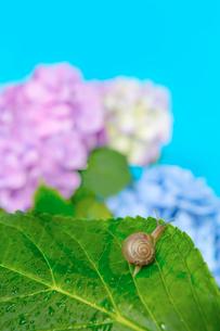 青空バックの紫陽花と葉の上のカタツムリの写真素材 [FYI03415448]