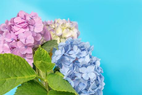 青空バックの紫陽花のアップ 梅雨、初夏イメージの写真素材 [FYI03415449]