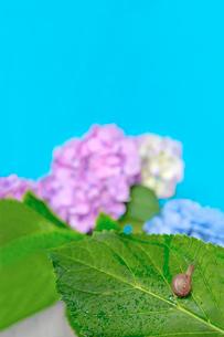 青空バックの紫陽花と葉の上のカタツムリの写真素材 [FYI03415450]