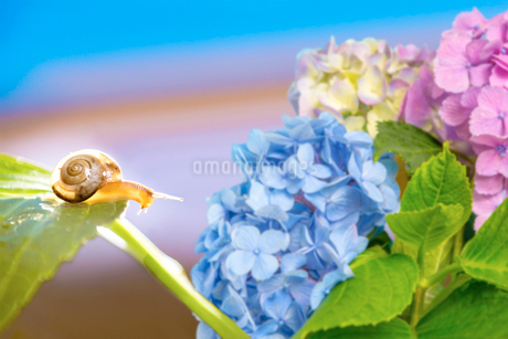 紫陽花と葉の上のカタツムリの写真素材 [FYI03415451]