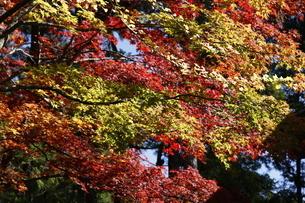 高野山 紅葉の写真素材 [FYI03415601]