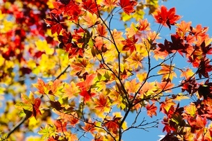 高野山 紅葉の写真素材 [FYI03415612]