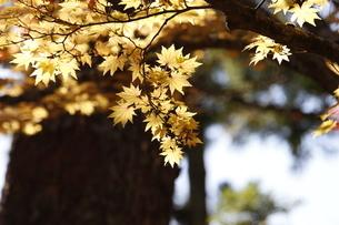高野山 紅葉の写真素材 [FYI03415617]
