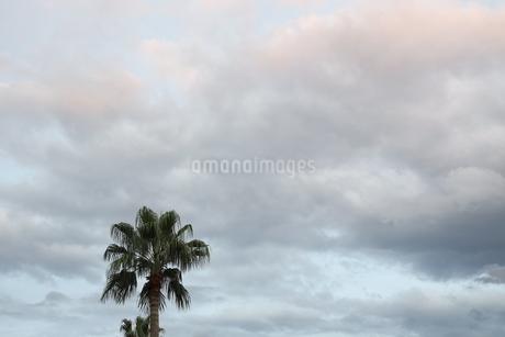 曇り空 ヤシの木の写真素材 [FYI03415641]