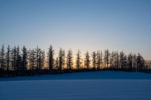 冬の夕暮れの空とカラマツ林の写真素材 [FYI03415827]