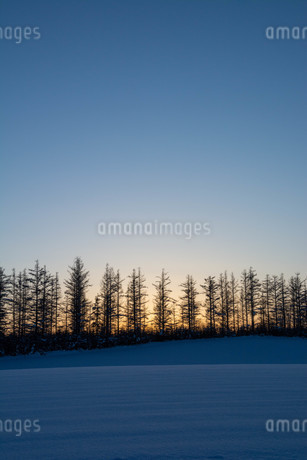 冬の夕暮れとカラマツ林の写真素材 [FYI03415831]