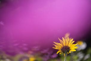 ひまわり 花写真素材の写真素材 [FYI03415840]