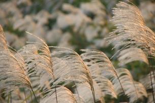風にゆれるススキ畑の写真素材 [FYI03415924]