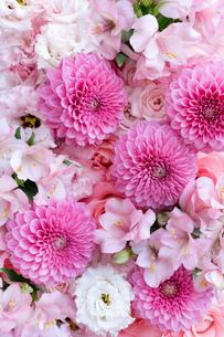 ピンクのダリアとアストロメリアのアレンジメントの写真素材 [FYI03416024]