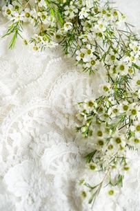 白いレースの上に置かれた白いワックスフラワーの花の写真素材 [FYI03416048]
