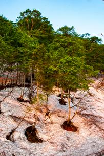 朝焼けに染まる鍋倉山残雪のブナ自然林の写真素材 [FYI03416052]