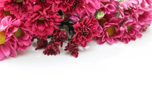菊の花束の写真素材 [FYI03416148]