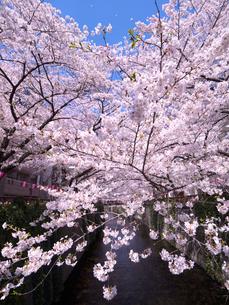 目黒川の桜 中目黒付近の写真素材 [FYI03416268]