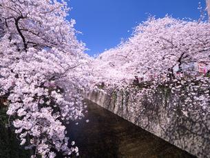 目黒川桜まつり 中目黒付近の写真素材 [FYI03416271]