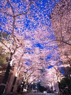 東京都 アークヒルズの夜桜の写真素材 [FYI03416280]