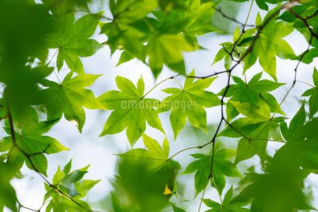 緑のもみじの写真素材 [FYI03416390]