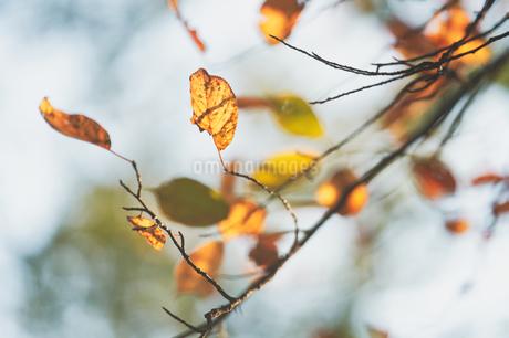枯れ葉の写真素材 [FYI03416397]
