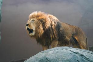 ライオンの写真素材 [FYI03416400]