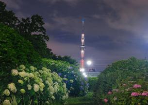 スカイツリーとあじさい 日本 東京都 江戸川区の写真素材 [FYI03416431]