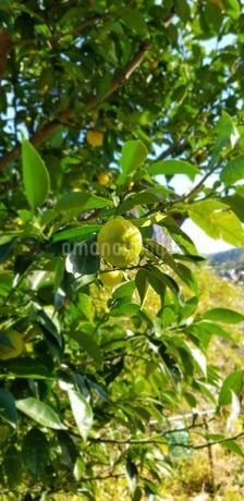 柚子の写真素材 [FYI03416484]