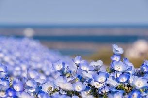 国営ひたち海浜公園 日本 茨城県 ひたちなか市の写真素材 [FYI03416593]