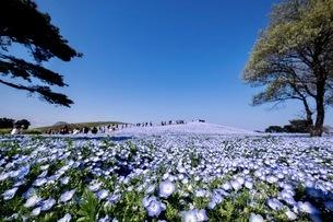 国営ひたち海浜公園 日本 茨城県 ひたちなか市の写真素材 [FYI03416594]