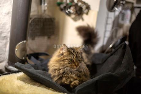 腹ばいになって横を向く長い毛並みのゴージャスな猫の写真素材 [FYI03417178]
