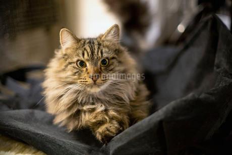寝そべってこちらを見る、毛並みの美しいゴージャスな猫の写真素材 [FYI03417179]