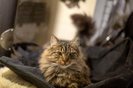 寝そべってこちらを見る、長い毛並みのゴージャスな猫の写真素材 [FYI03417180]