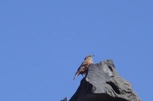 富士山のハチジョウツグミの写真素材 [FYI03417199]