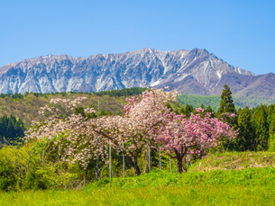 春に桜が咲いている蒜山大山スカイラインの風景の写真素材 [FYI03417619]