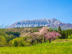 春に桜が咲いている蒜山大山スカイラインの風景の写真素材 [FYI03417620]